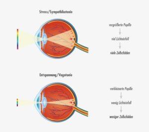 Lichteinfall bei Altersbedingter Makuladegeneration Große Pupille – viel Lichteinfall – Sympathikus dominant (Kampf- und Fluchtsituation) Kleine Pupille – wenig Lichteinfall – Parasymapthikus dominant (Erholung, Regeneration und Reparaturprozesse)